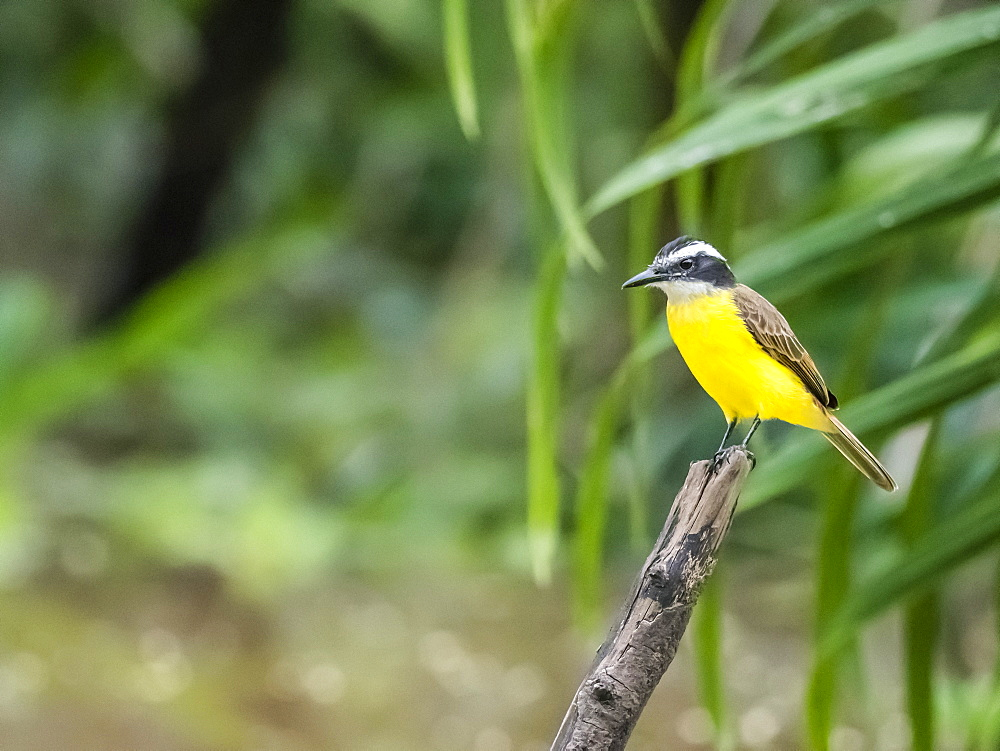 Adult lesser kiskadee (Pitangus lictor), Belluda Creek, Ucayali River, Amazon Basin, Loreto, Peru, South America
