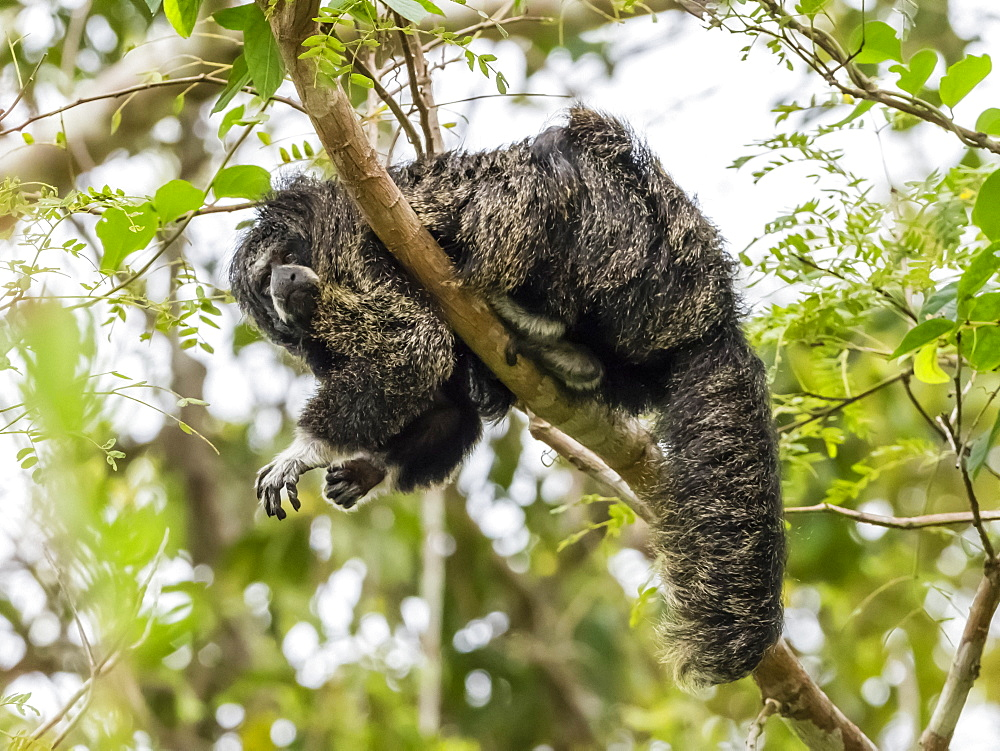 An adult monk saki monkey (Pithecia monachus), near the Oxbow lake Atun Poza, Iquitos, Peru, South America