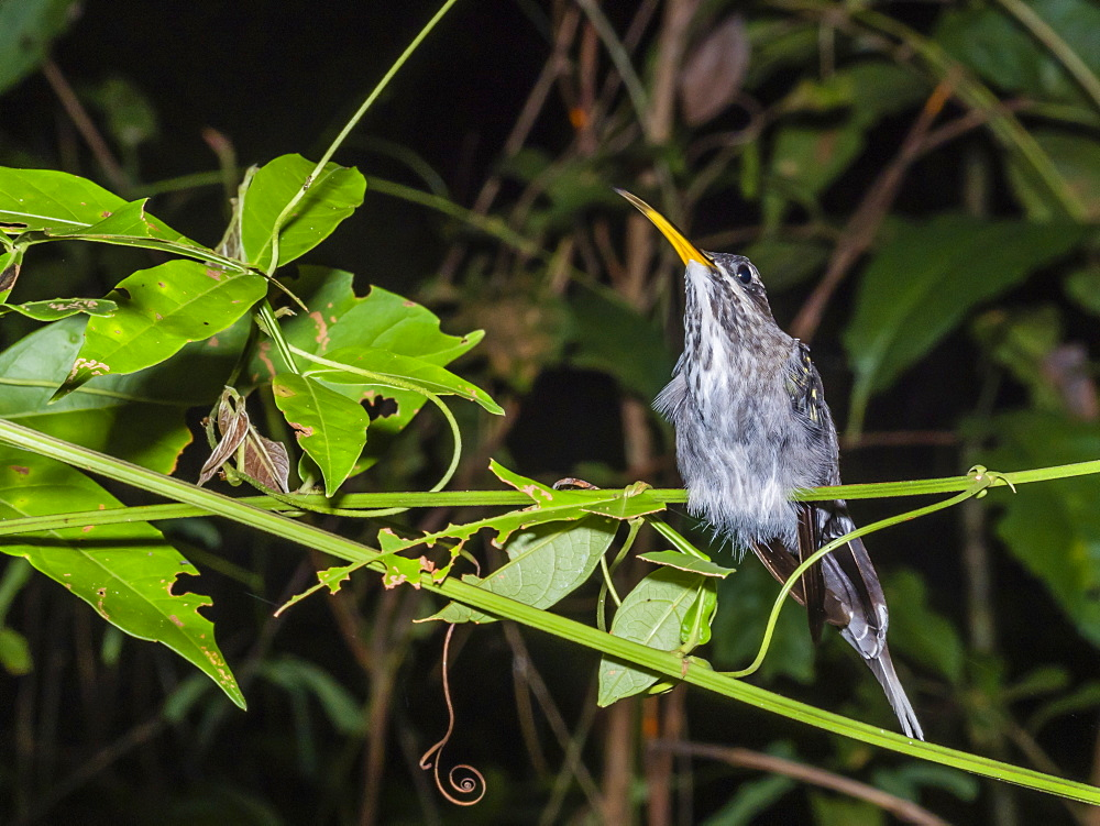 An adult long-tailed hermit (Phaethornis superciliosus), in Nauta Cano at night, Pacaya-Samiria Reserve, Nauta, Peru, South America