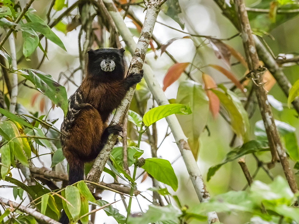 An adult Saddleback Tamarin (Saguinus fuscicollis), on Nauta Cano, Amazon Basin, Loreto, Peru, South America