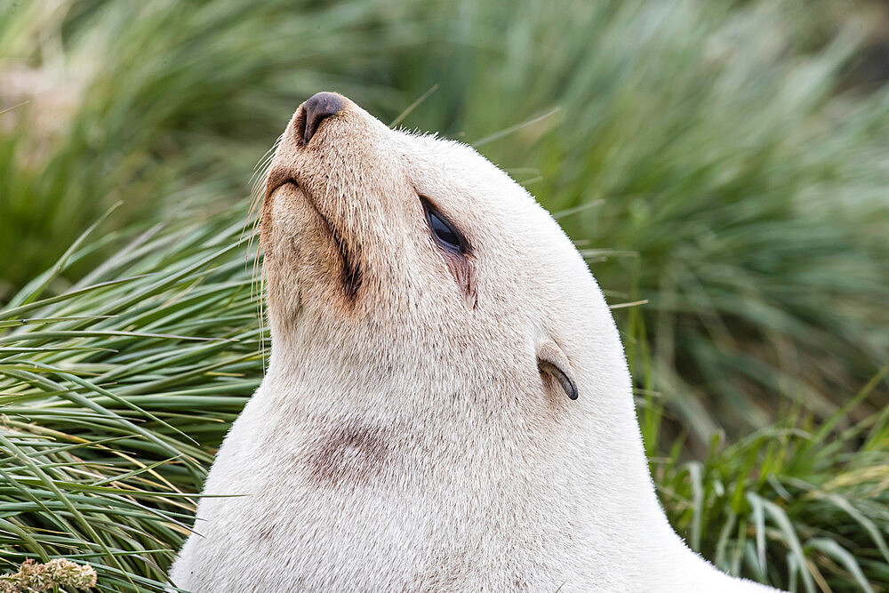 Leucistic Antarctic fur seal (Arctocephalus gazella), in the tussac grass at Gold Harbor, South Georgia Island, Polar Regions