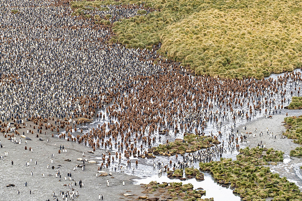 King penguins and elephant seals cover the beach in Gold Harbor, South Georgia, UK Overseas Protectorate, Polar Regions