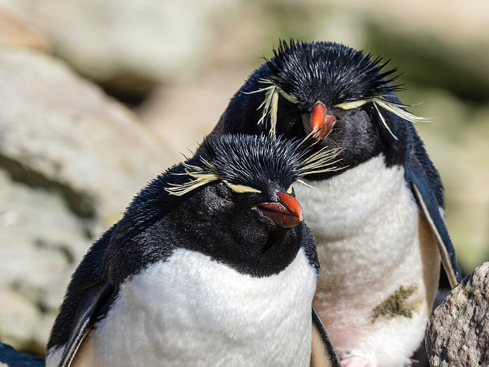 Adult southern rockhopper penguins (Eudyptes chrysocome) on New Island, Falkland Islands, South America