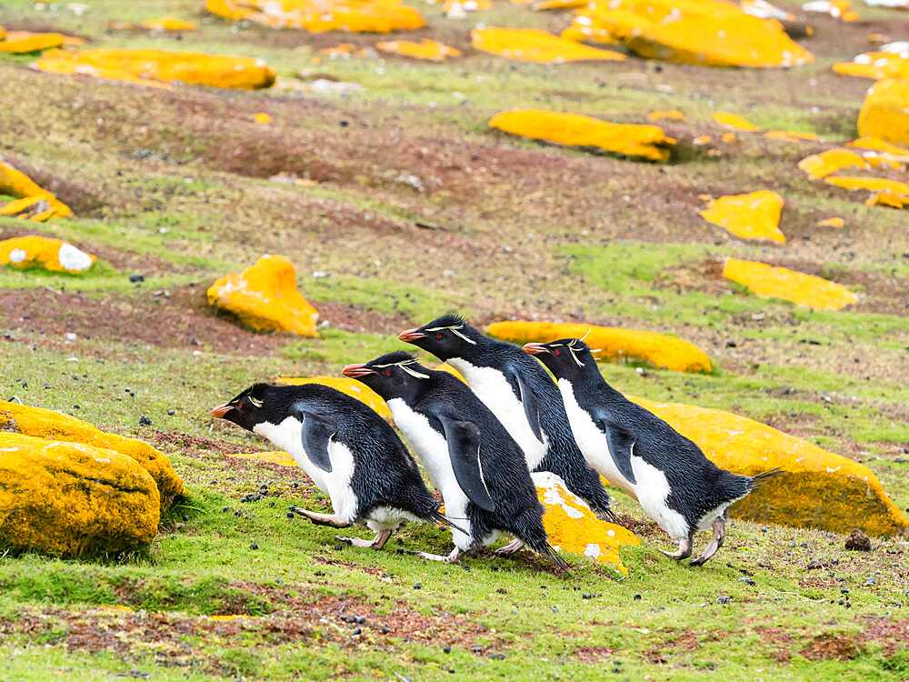 Adult southern rockhopper penguins, Eudyptes chrysocome, on Saunders Island, Falkland Islands.