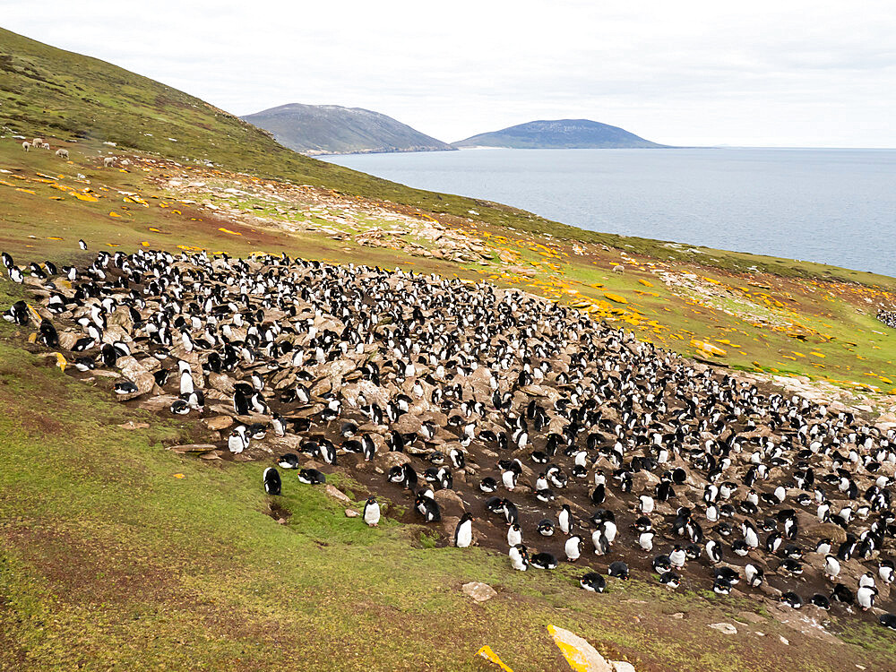 Southern rockhopper penguin breeding colony (Eudyptes chrysocome), on Saunders Island, Falkland Islands, South America