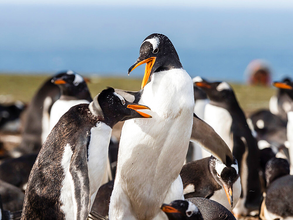 Gentoo penguins, Pygoscelis papua, squabbling with each other at nest site on New Island, Falkland Islands.
