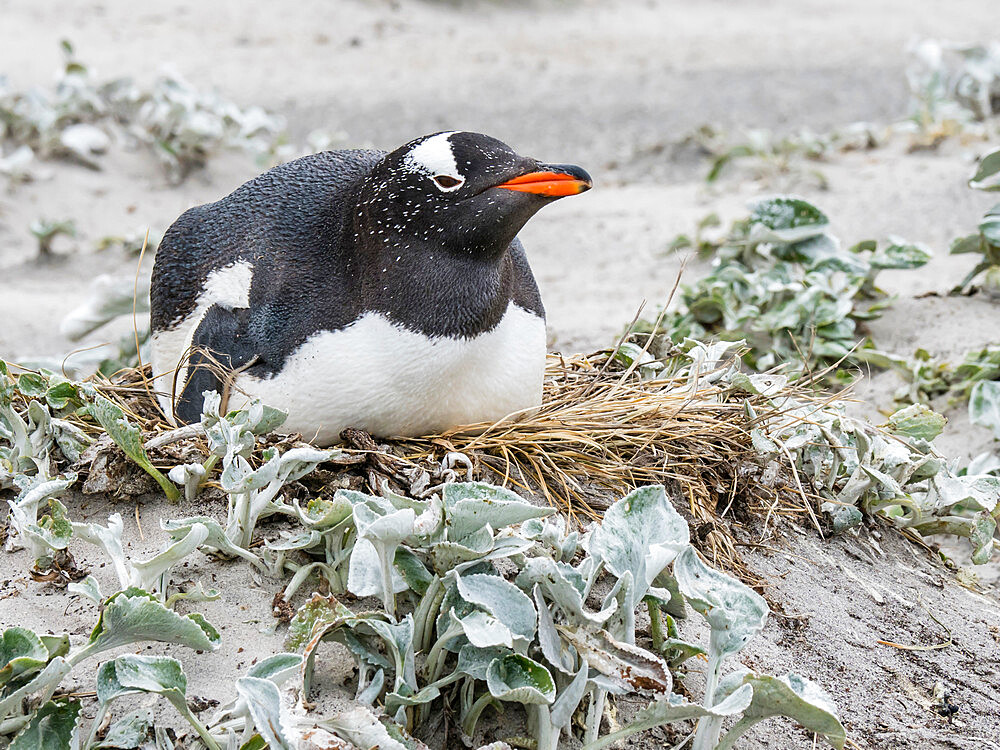 Gentoo penguin, Pygoscelis papua, at nesting site on Bull Point, East Island, Falklands.