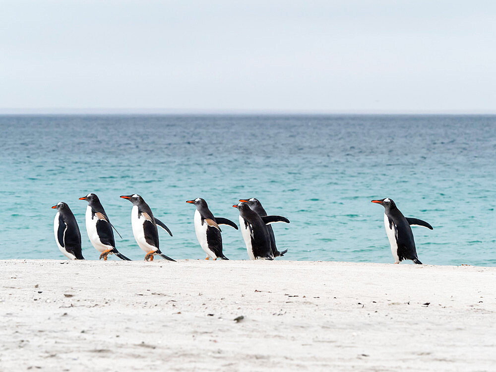 Gentoo penguins, Pygoscelis papua, returning from the sea on Bleaker Island, Falklands.