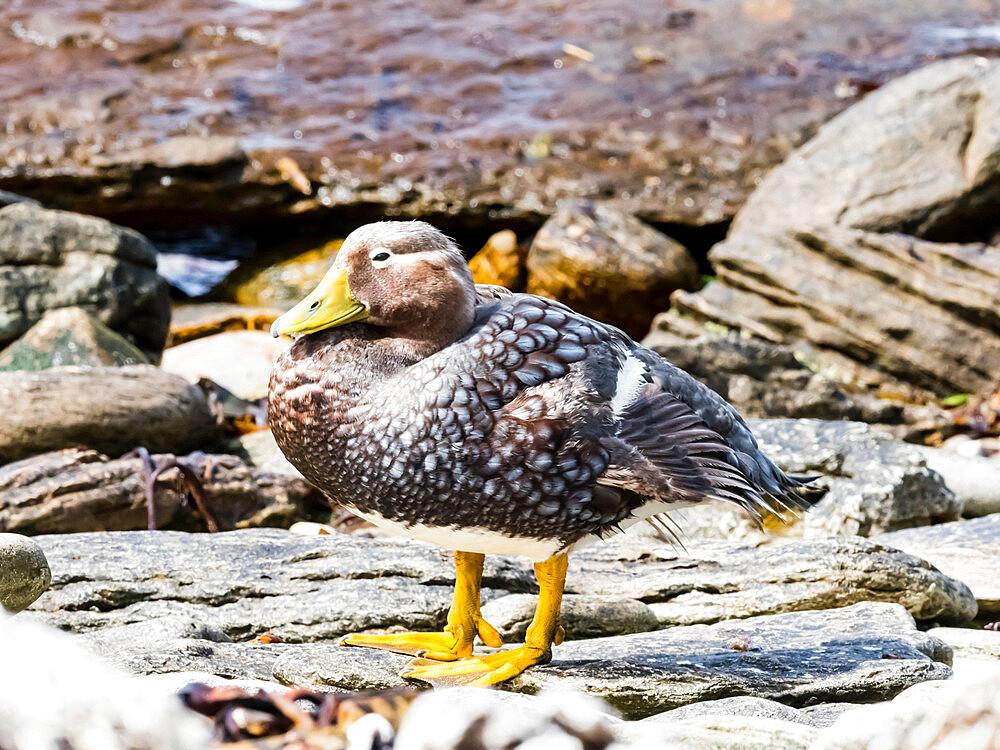 An adult female Falkland steamer duck, Tachyeres brachypterus, on Carcass Island, Falkland Islands.