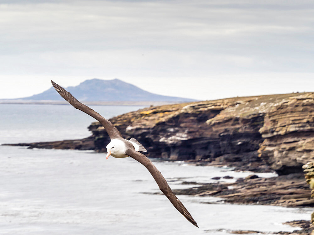 Adult black-browed albatross, Thalassarche melanophris, in flight on Saunders Island, Falklands.