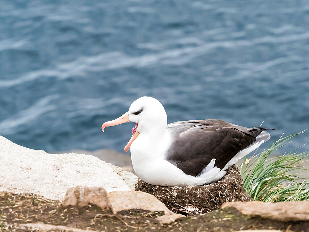 Adult black-browed albatross, Thalassarche melanophris, on its nest on Saunders Island, Falklands.