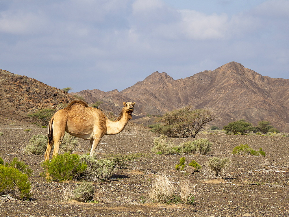Arabian camel (Camelus dromedarius), foraging near Al Qabil, Sultanate of Oman, Middle East