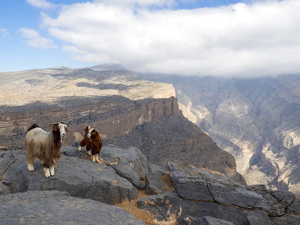 Goats on Jebel Shams, the highest mountain of the Hajar range, Sultanate of Oman, Middle East