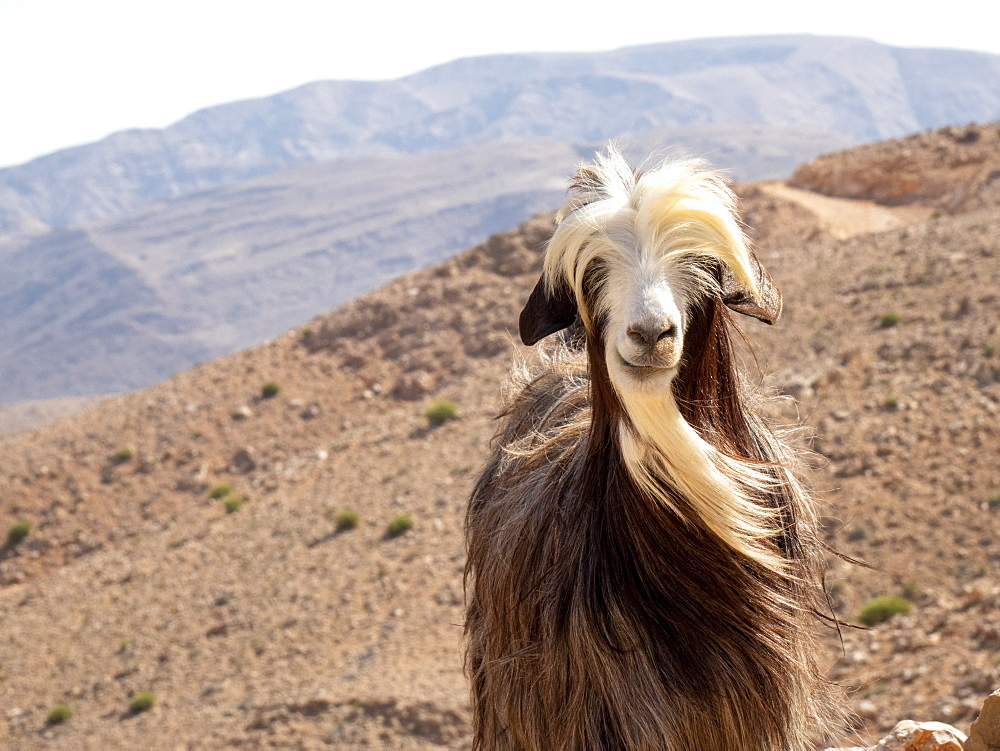 Goat on the mountain sides of Wadi Fins, Sultanate of Oman, Middle East