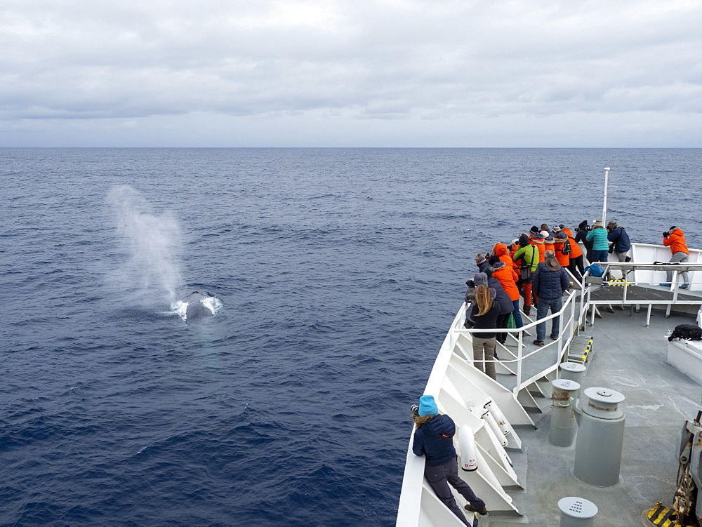 An adult blue whale (Balaenoptera musculus), surfacing in the Drake Passage, Antarctica, Polar Regions