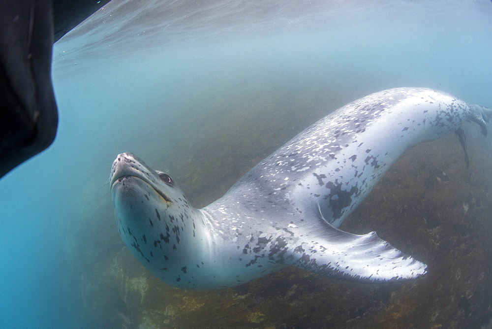 A curious male leopard seal (Hydrurga leptonyx), underwater at Monroe Island, South Orkney Islands, Antarctica, Polar Regions