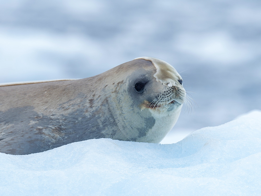 Adult crabeater seal (Lobodon carcinophaga), from the National Geographic Explorer in Girard Bay, Antarctica, Polar Regions