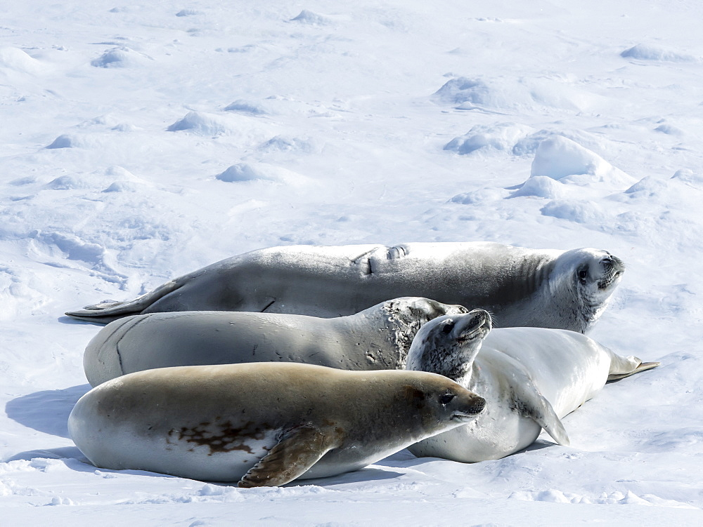 Adult crabeater seals (Lobodon carcinophaga), from the National Geographic Explorer in the Lemaire Channel, Antarctica, Polar Regions