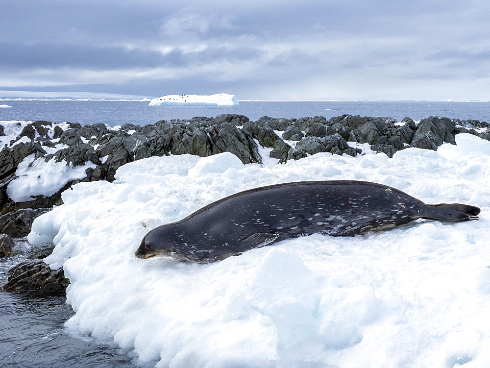 An adult Weddell seal (Leptonychotes weddellii), on ice on Dundee Island, Antarctic Sound, Antarctica, Polar Regions