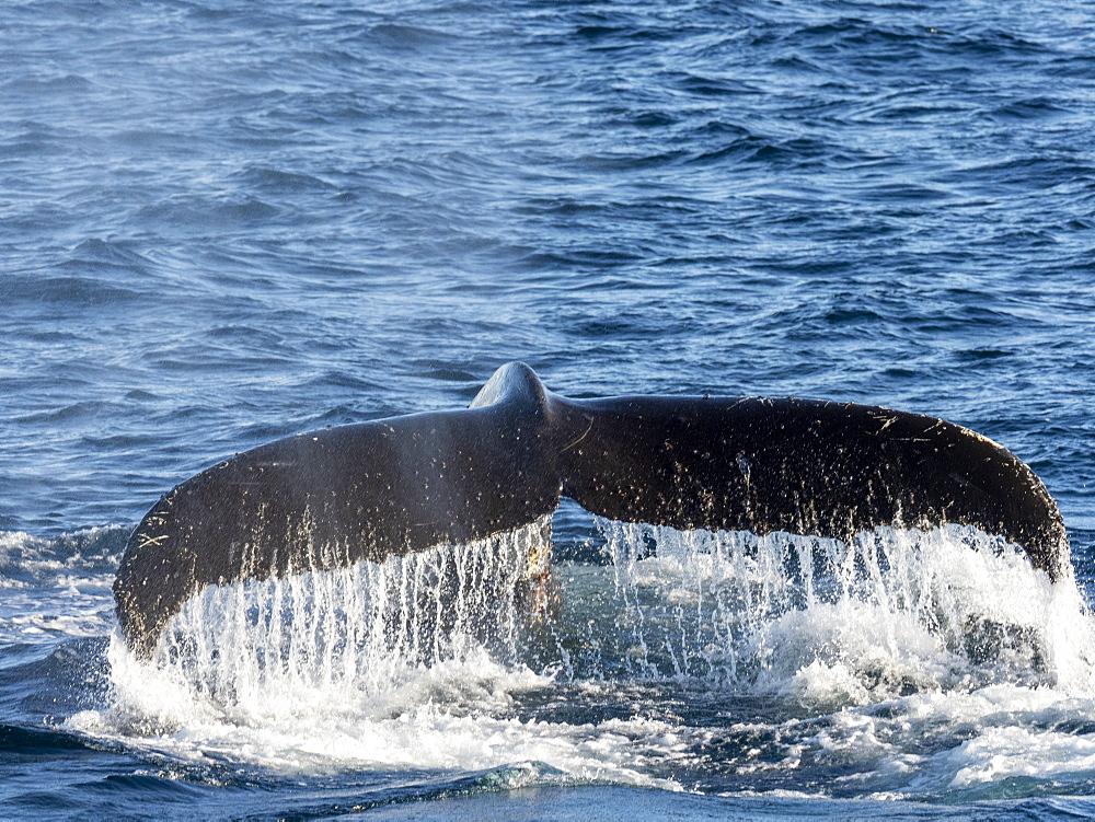 Adult humpback whale (Megaptera novaeangliae), flukes-up dive in Wilhelmina Bay, Antarctica, Polar Regions