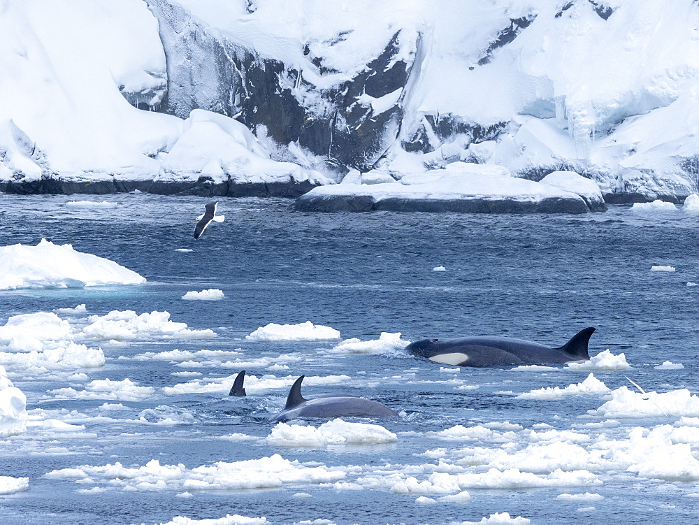 Type Big B killer whales (Orcinus orca), searching ice floes for pinnipeds in the Lemaire Channel, Antarctica, Polar Regions