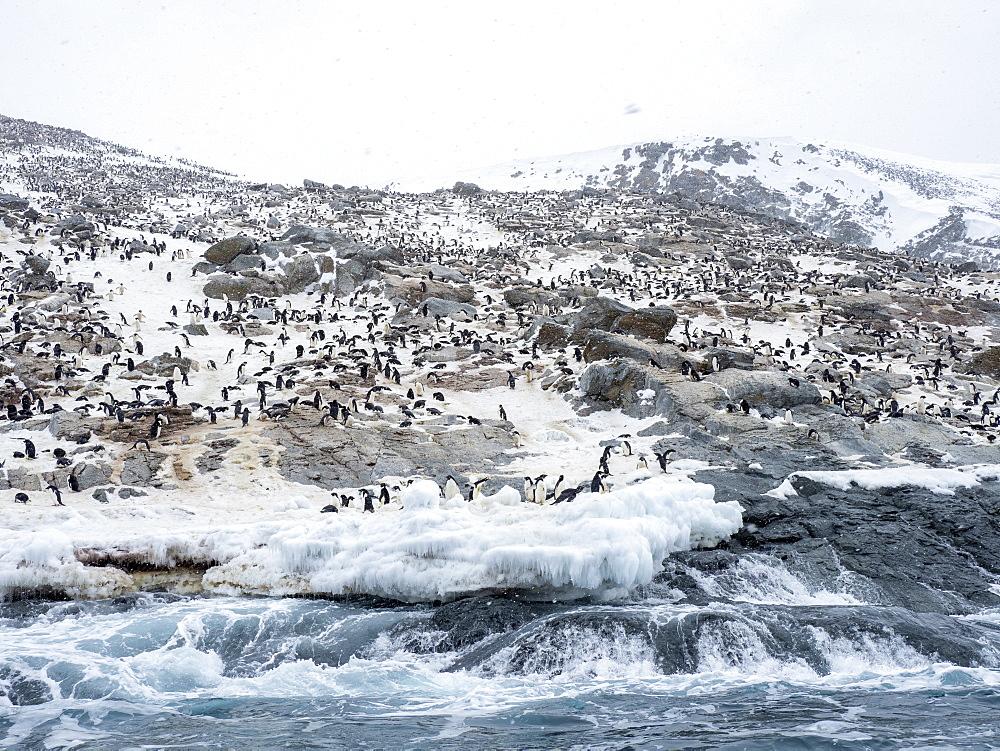 Adelie penguin (Pygoscelis adeliae) breeding colony at Heroina Island, Danger Islands, Weddell Sea, Antarctica, Polar Regions