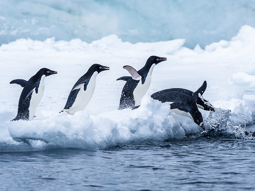 Adelie penguin (Pygoscelis adeliae), breeding colony at Brown Bluff, Antarctic Sound, Antarctica, Polar Regions