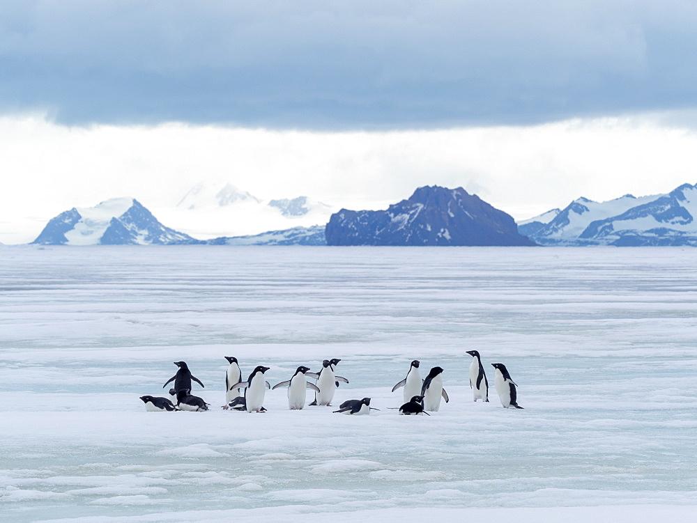 Adelie penguins (Pygoscelis adeliae), on fast ice near Devil Island, Weddell Sea, Antarctica, Polar Regions