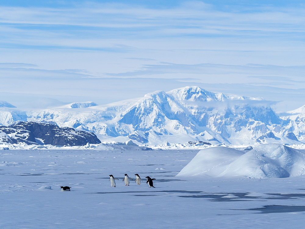 Adelie penguins (Pygoscelis adeliae), on fast ice in the Yalour Islands, Antarctica, Polar Regions