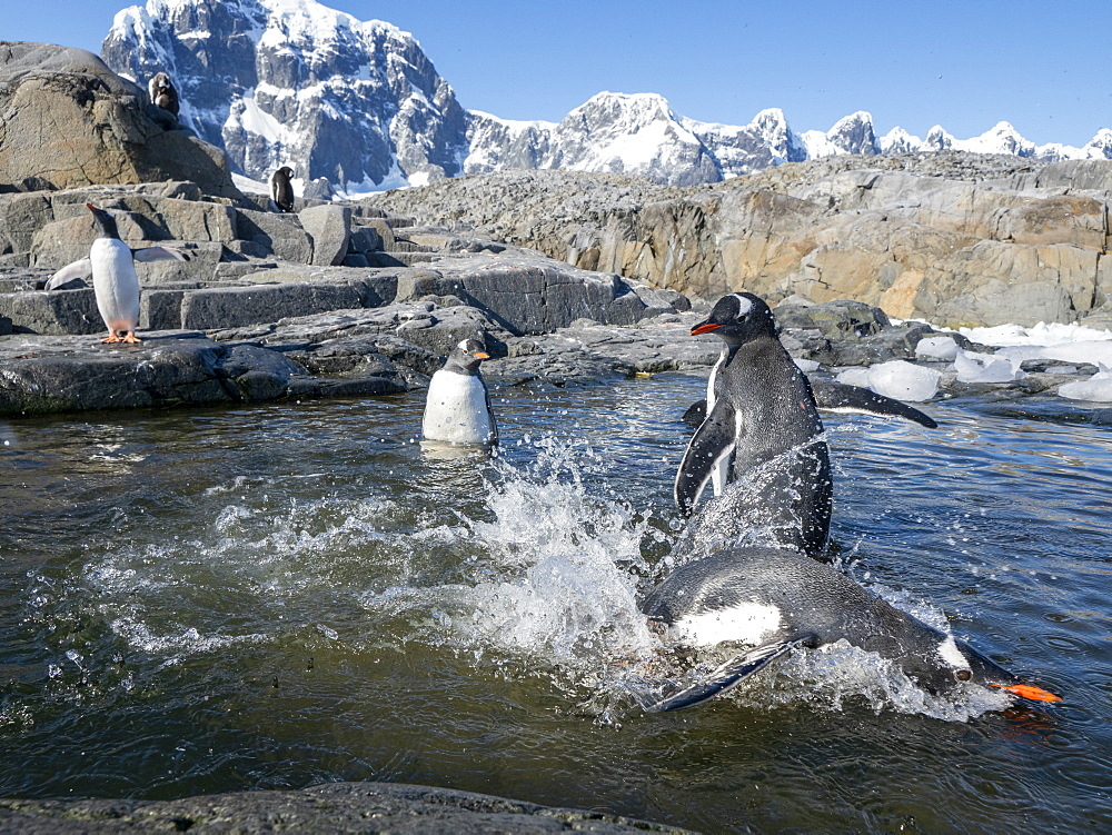 Gentoo penguins (Pygoscelis papua), playing in a meltwater pool at Jougla Point, Wiencke Island, Antarctica, Polar Regions