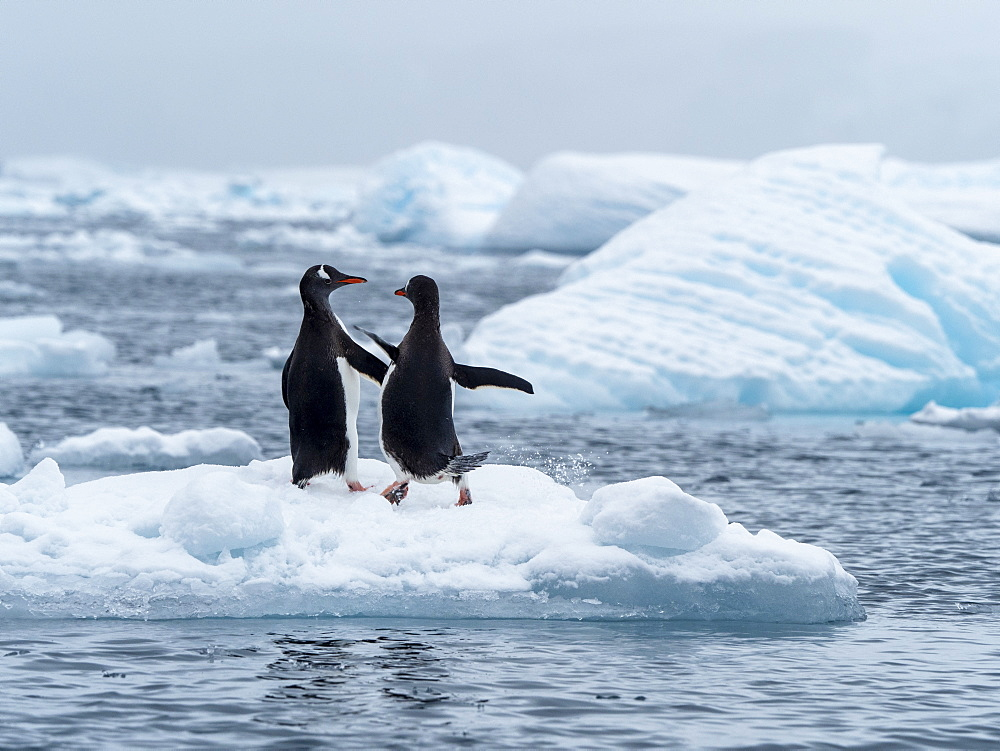 Gentoo penguins (Pygoscelis papua) on ice in Cierva Cove, Antarctica, Polar Regions
