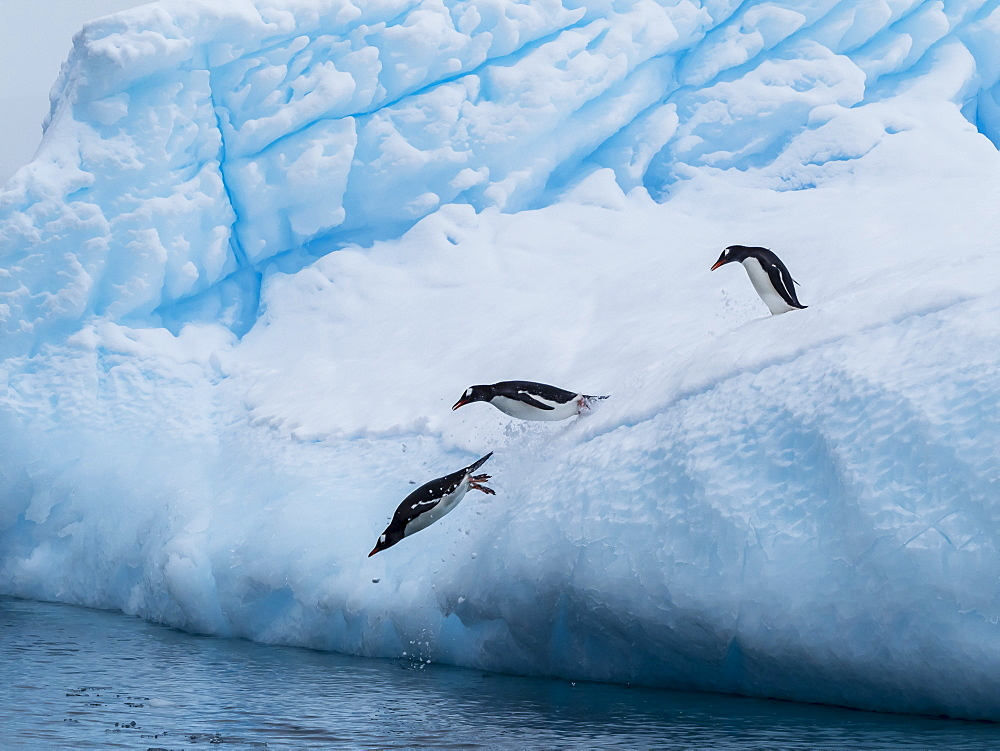 Gentoo penguins (Pygoscelis papua) on ice in Cierva Cove, Antarctica, Polar Regions