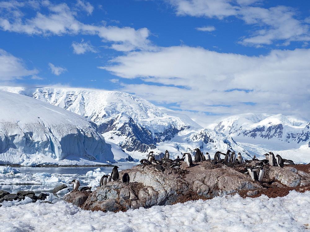 Gentoo penguin (Pygoscelis papua), breeding colony at the Chilean Research Station Base Gonzalez Videla, Antarctica, Polar Regions