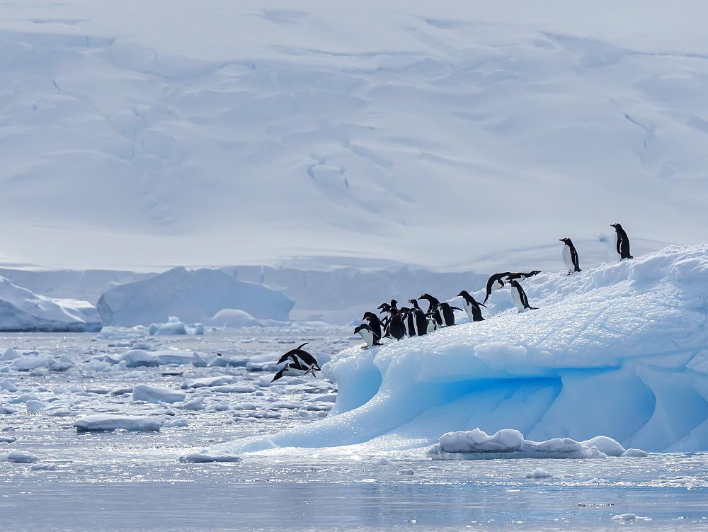 Gentoo penguins (Pygoscelis papua), leaping off ice in Lindblad Cove, Trinity Peninsula, Antarctica, Polar Regions