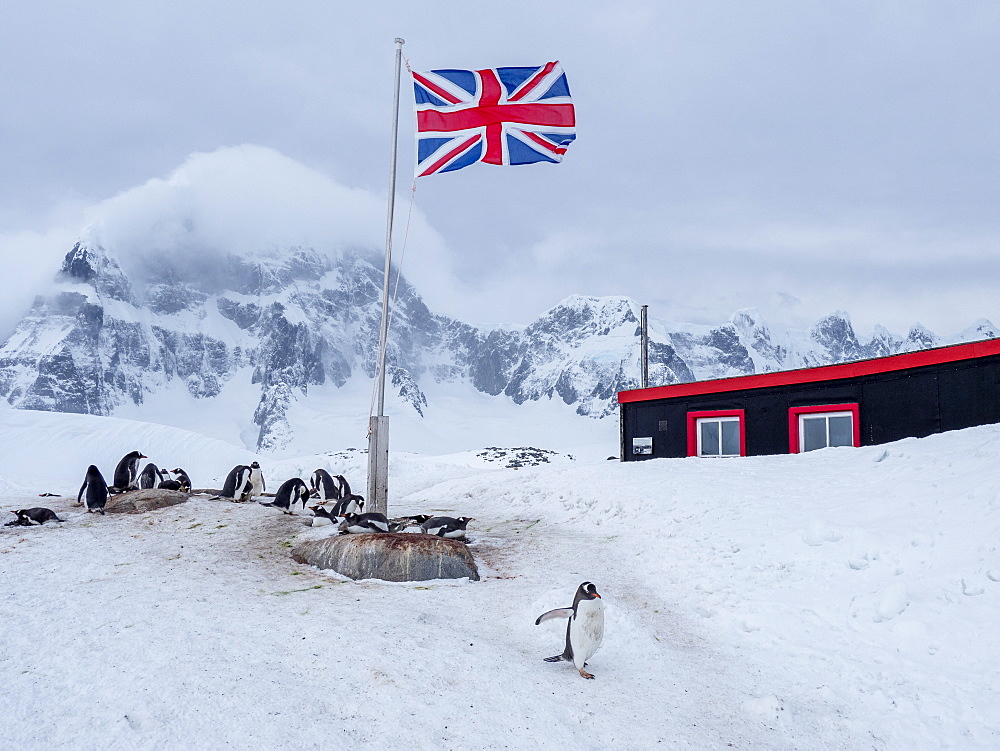 A gentoo penguin (Pygoscelis papua), breeding colony beneath a Union Jack flag flying at British Base A at Port Lockroy, Antarctica, Polar Regions