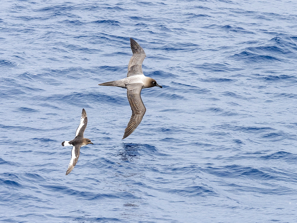 An adult Antarctic petrel (Thalassoica antarctica), flying near a light-mantled albatross in the Drake Passage, Antarctica, Polar Regions