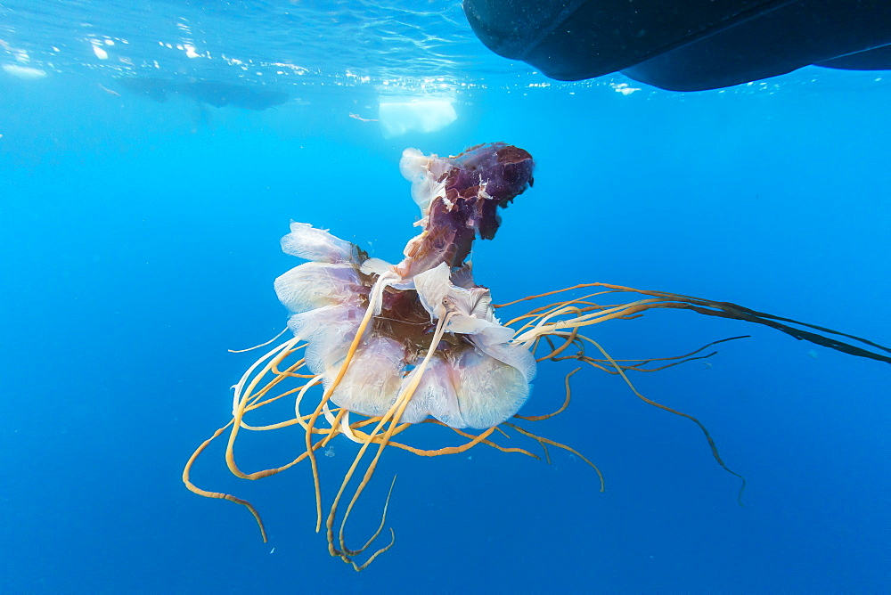 An unidentified jellyfish near the surface in Paradise Bay, Antarctica, Polar Regions