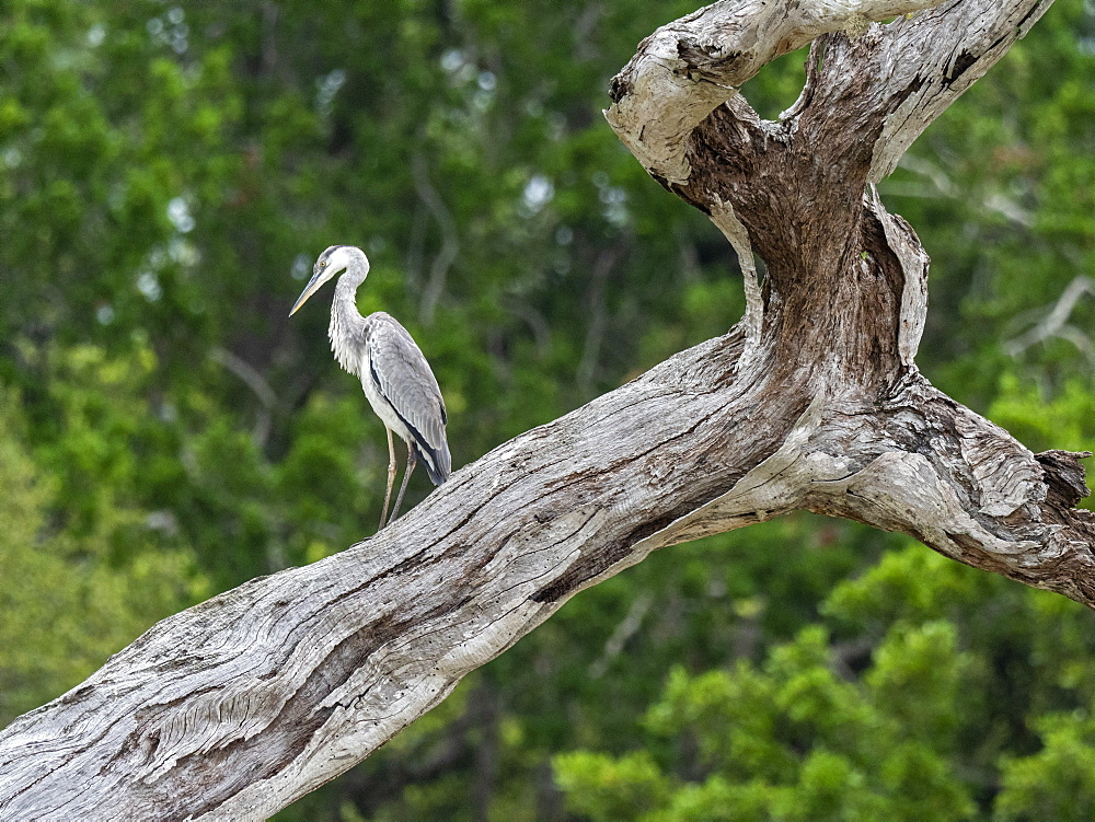 Adult grey heron (Ardea cinerea), perched on a tree, Yala National Park, Sri Lanka, Asia