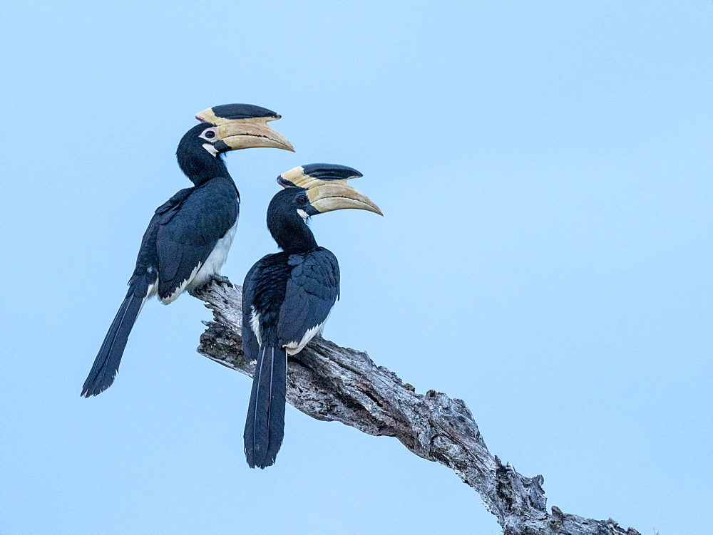 A pair of Malabar pied hornbills (Anthracoceros coronatus), Udawalawe National Park, Sri Lanka, Asia