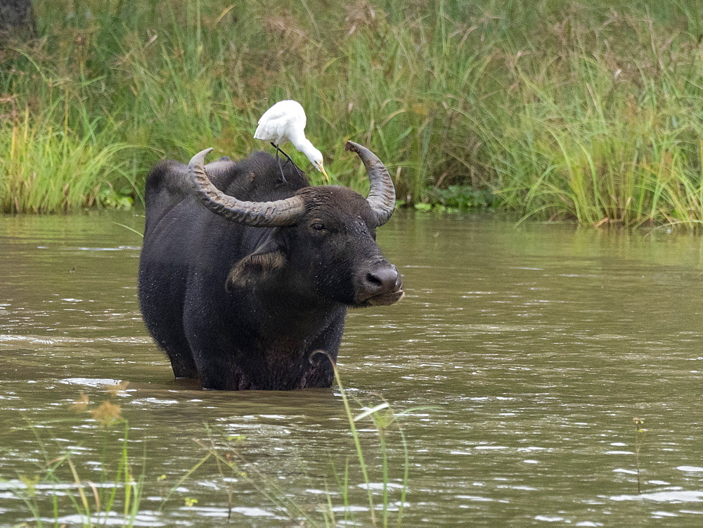 An adult water buffalo (Bubalus bubalis), seeks relief from the heat, Yala National Park, Sri Lanka, Asia
