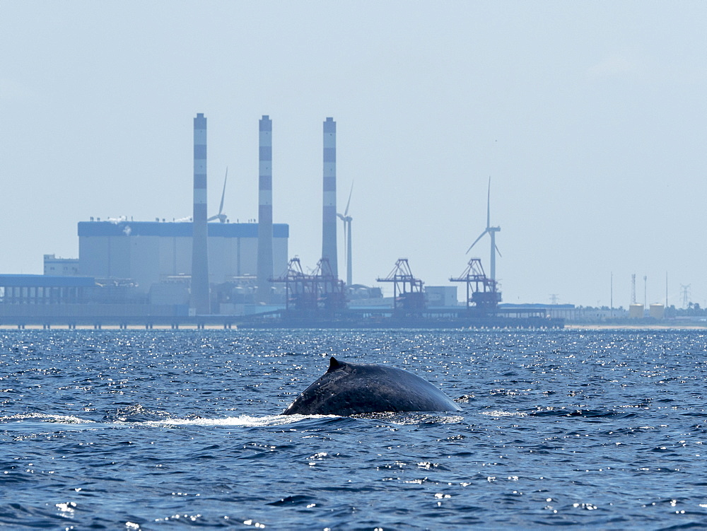 An adult blue Whale (Balaenoptera musculus), surfacing off the Kalpitiya Peninsula, Sri Lanka, Asia