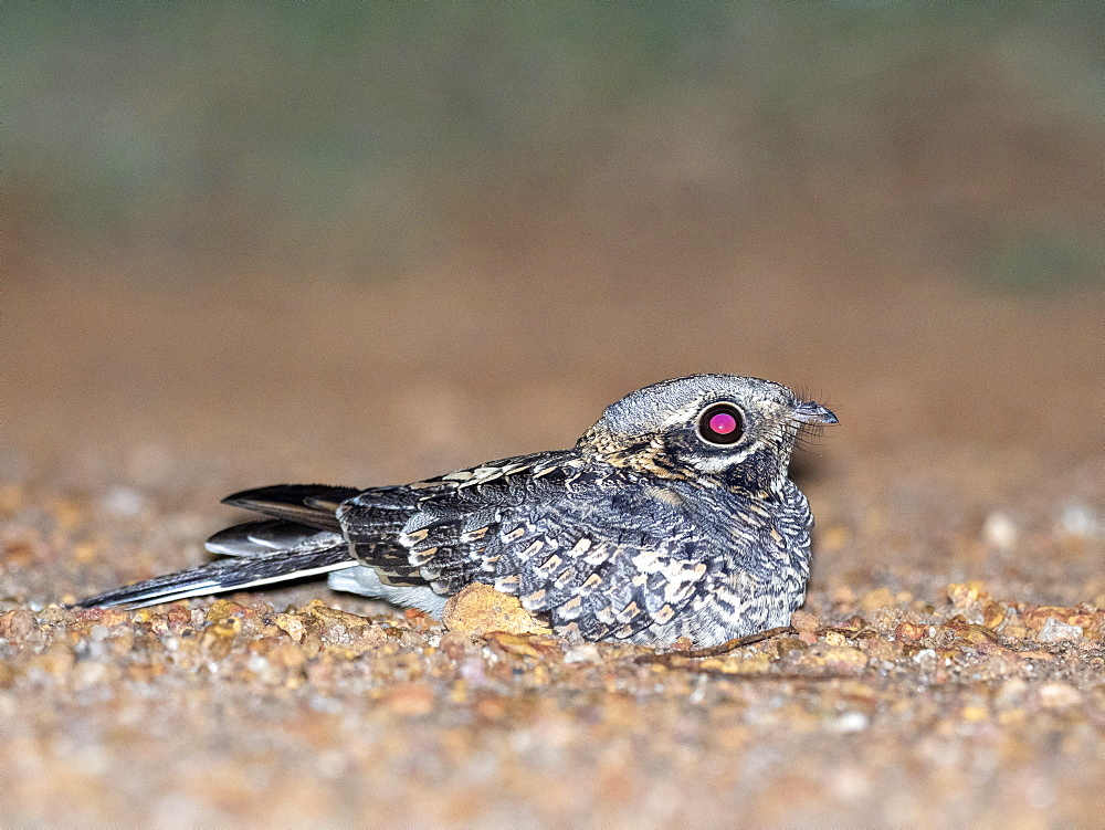 Adult Indian nightjar (Caprimulgus asiaticus), on the ground at night in the Kalpitiya Peninsula, Sri Lanka, Asia