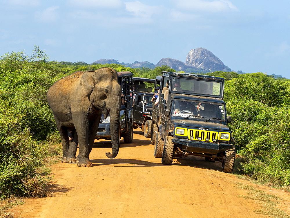 An adult Asian elephant (Elephas maximus), with safari vehicles, Yala National Park, Sri Lanka, Asia