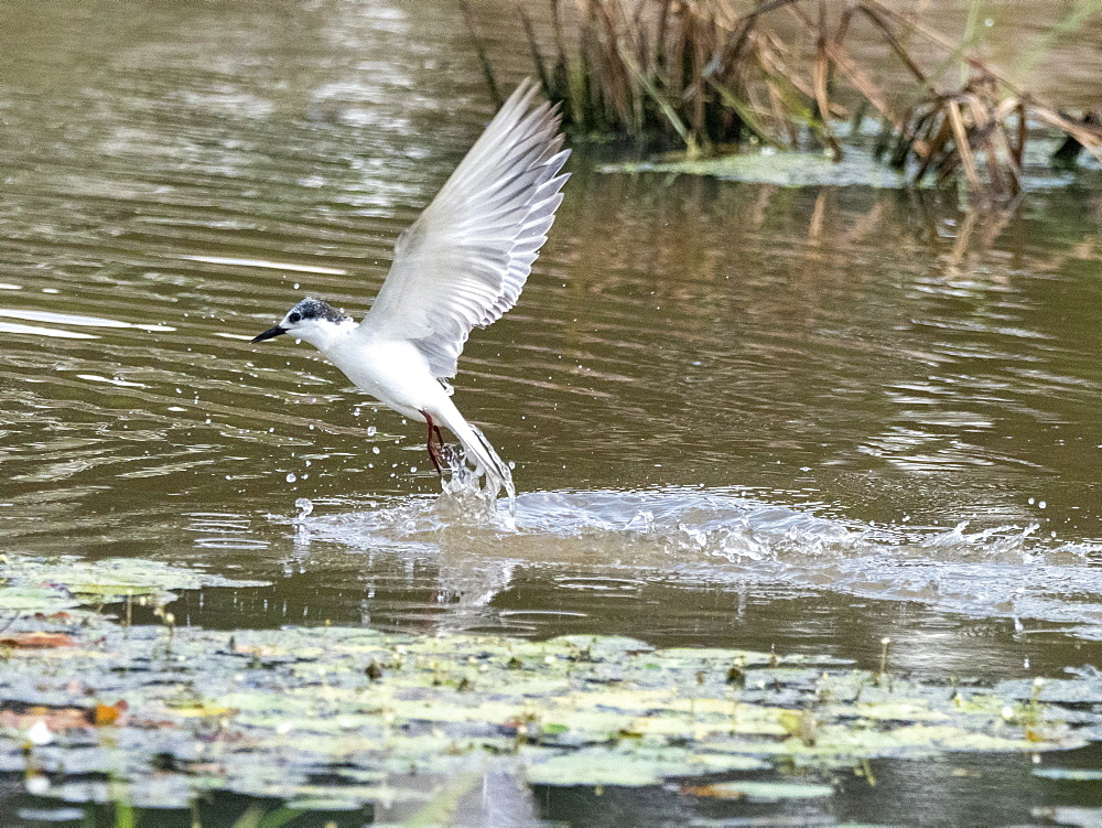 An adult whiskered tern (Chlidonias hybrida in flight, Yala National Park, Sri Lanka, Asia