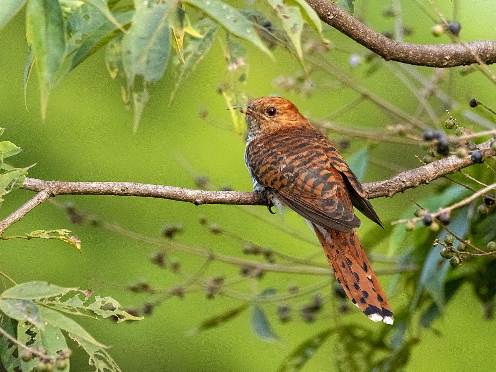 Adult grey-bellied cuckoo (Cacomantis passerinus), Udawalawe National Park, Sri Lanka, Asia