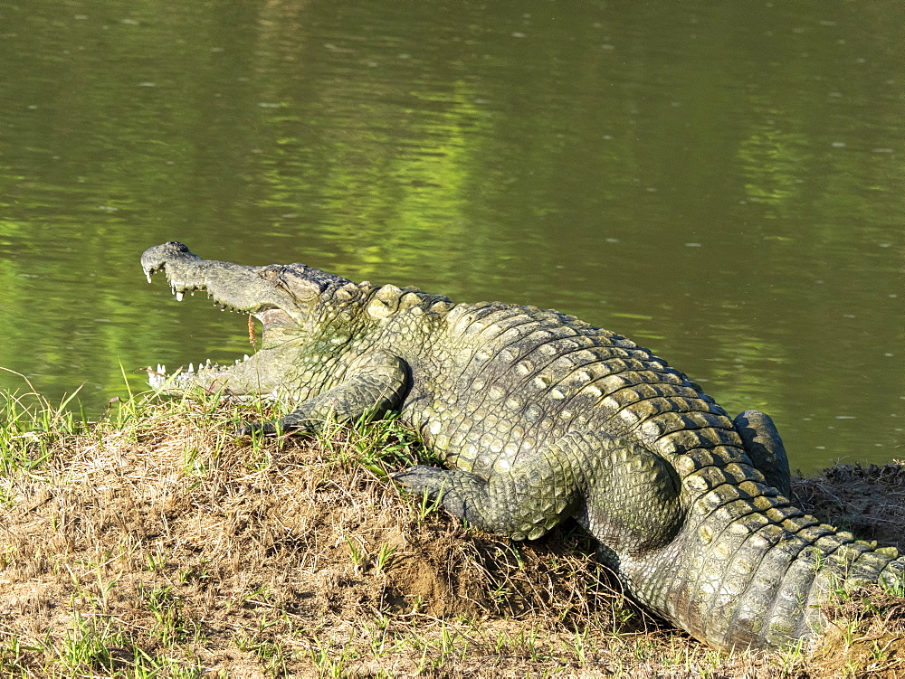 An adult mugger crocodile (Crocodylus palustris), basking in the sun, Yala National Park, Sri Lanka, Asia