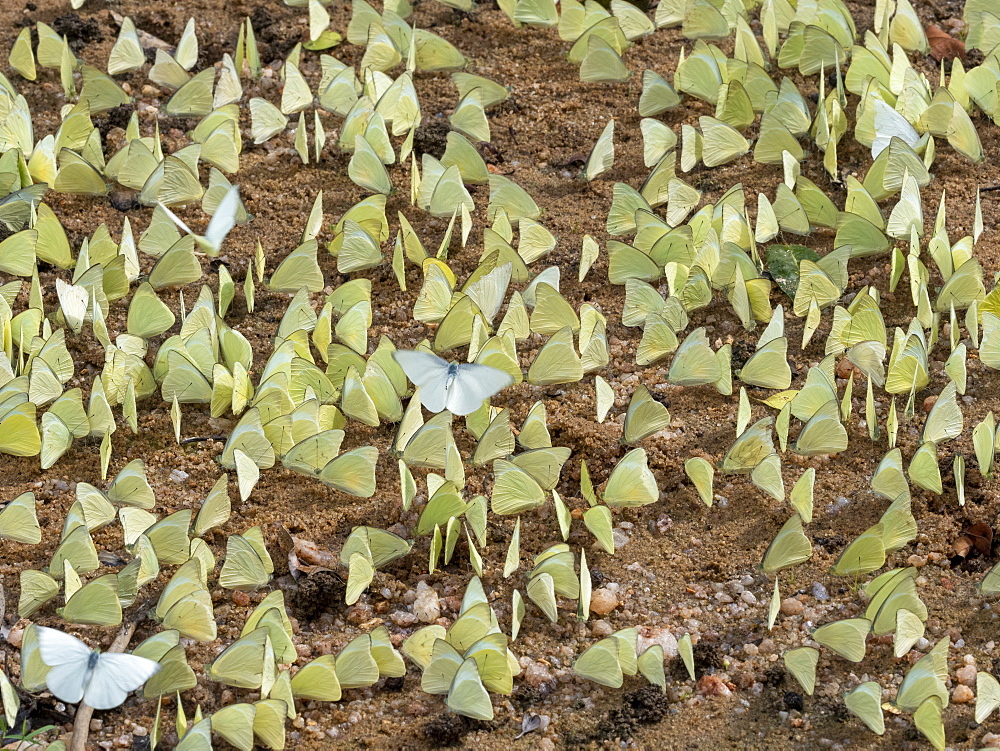 A gathering of lemon emigrant butterflies (Catopsilia pomona), Yala National Park, Sri Lanka, Asia
