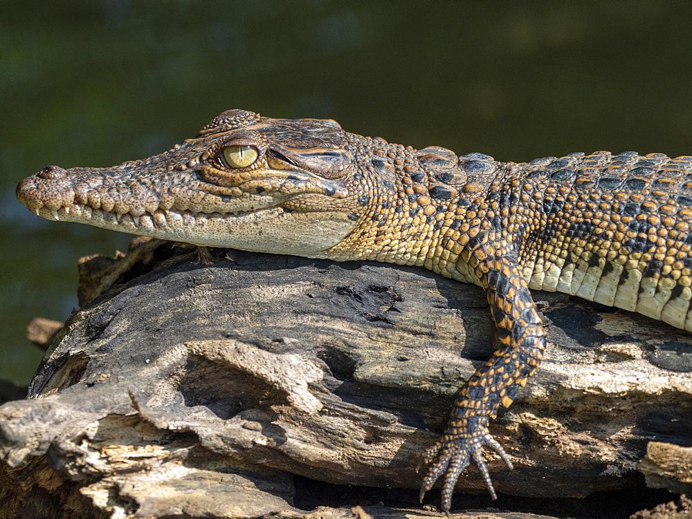 A juvenile saltwater crocodile (Crocodylus porosus), basking in the sun on the Nilwala River, Sri Lanka, Asia