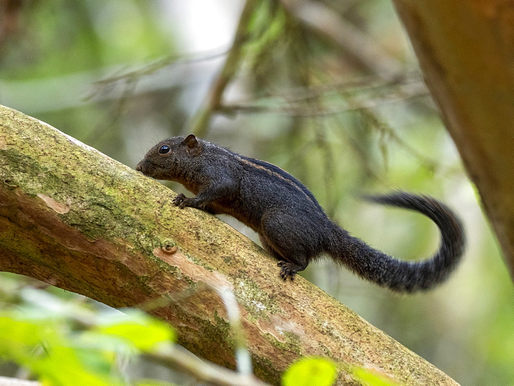 An adult Layard's striped squirrel (Funambulus layardi), in the Sinharaja Rainforest Reserve, Sri Lanka, Asia
