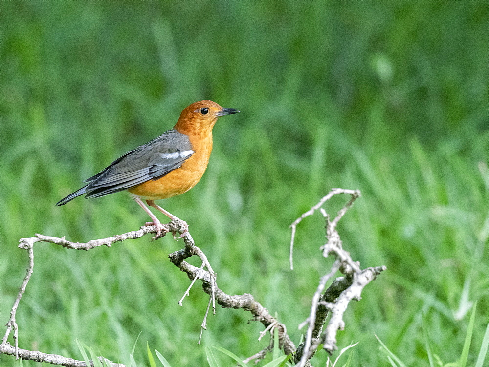 An adult orange-headed thrush (Geokichla citrina), Wilpattu National Park, Sri Lanka, Asia